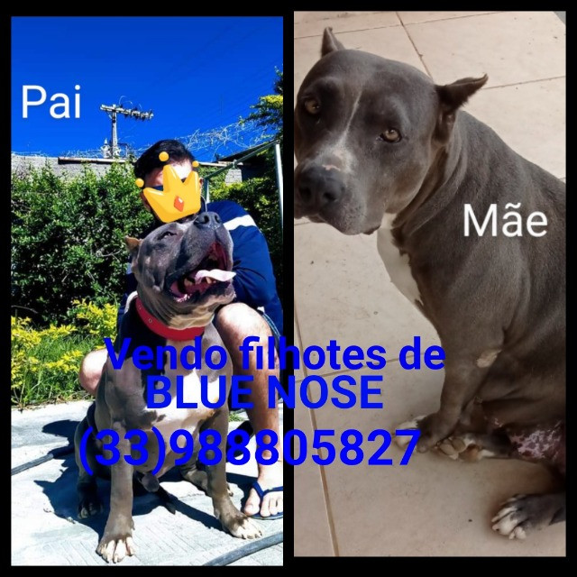 Filhotes de Pit Monster blue nose com pedigree