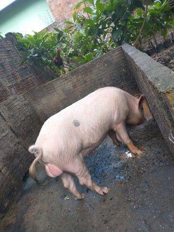 Porco para reprodução