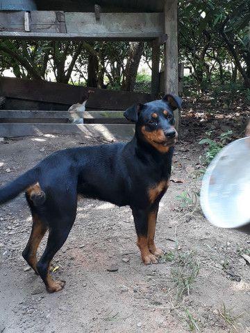 Vendo cachorra boxer com rottweiler - Foto 2
