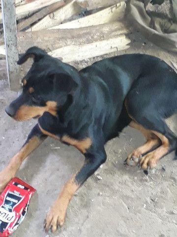 Vendo cachorra boxer com rottweiler - Foto 3