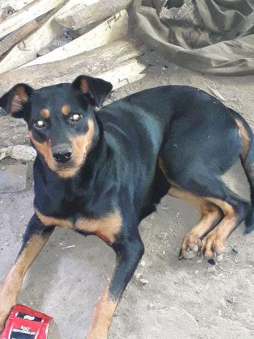 Vendo cachorra boxer com rottweiler - Foto 6