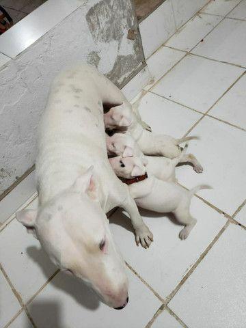 Lindos filhotes de Bull terrier  - Foto 4