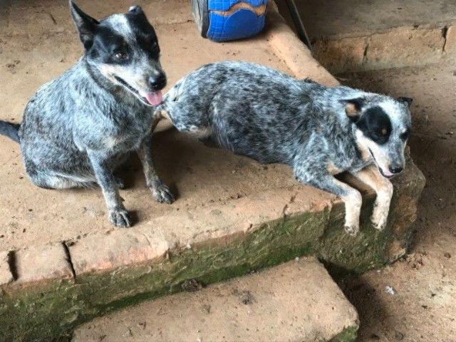 Filhotes de Blue Heeler  - Foto 5