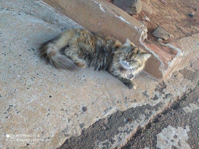 Duas gatas persa, fêmea, para venda  - Foto 6