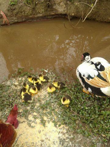 Filhotes de pato - Foto 3