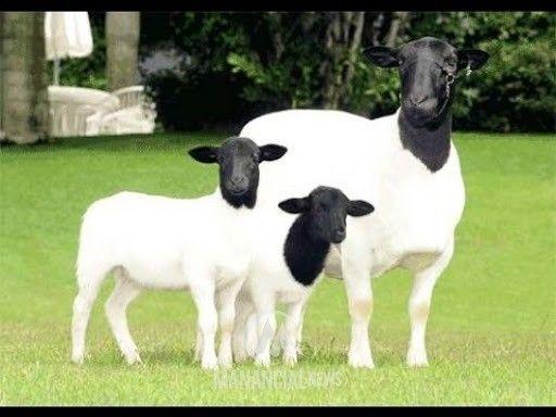 Carneiros raça Dorper, puros e mestiços santa Inês. Machos pra reprodução e fêmeas. - Foto 2