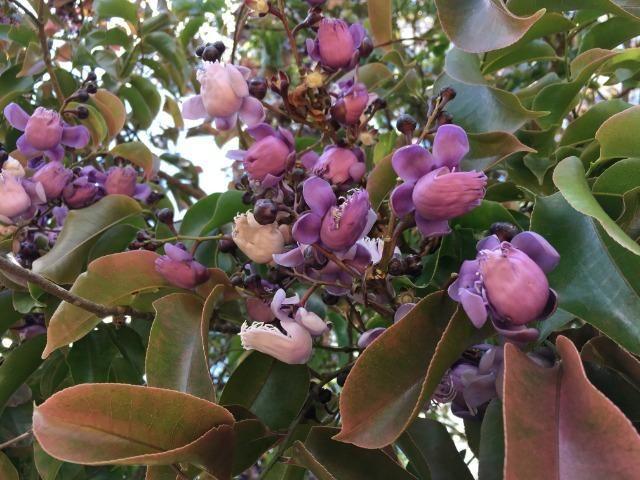 Mudas de Castanha Sapucaia (Lecythis pisonis) ou Cumbuca de macaco: frutífera nativa - Foto 2