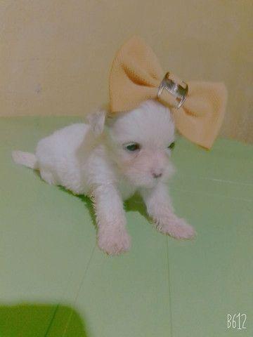 Filhote Poodle - Foto 6