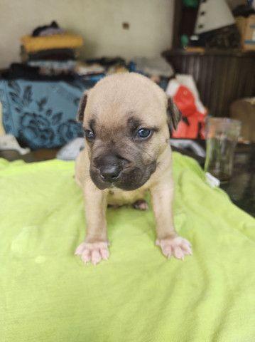 Cachorro pitbull Monster