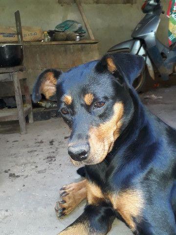 Vendo cachorra boxer com rottweiler - Foto 5