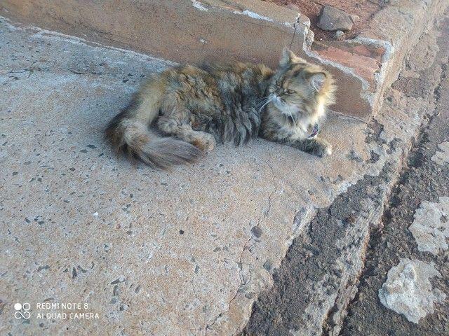 Duas gatas persa, fêmea, para venda  - Foto 5