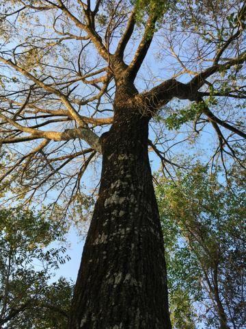 Mudas de Jequitibá (Cariniana estrellensis)