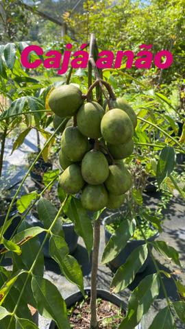 Mudas frutíferas - Foto 6