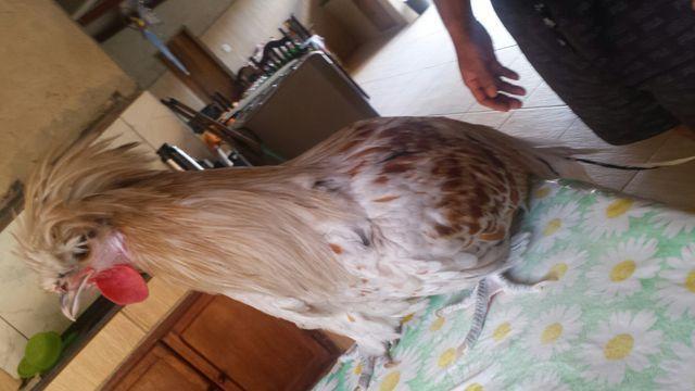 Vendo ovos e pintinhos de índio gigante, polonesas e Brahma - Foto 4