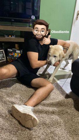 Labrador Macho: para fazer filhotes.  - Foto 5