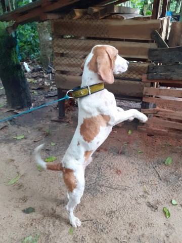 Cachorro Beagle - Foto 5