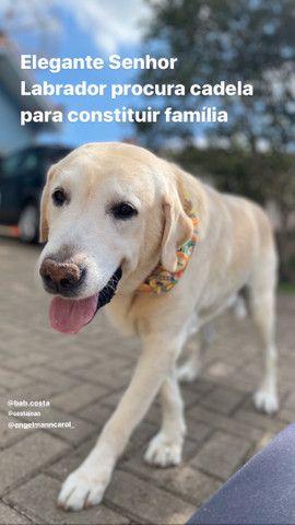 Labrador Macho: para fazer filhotes.
