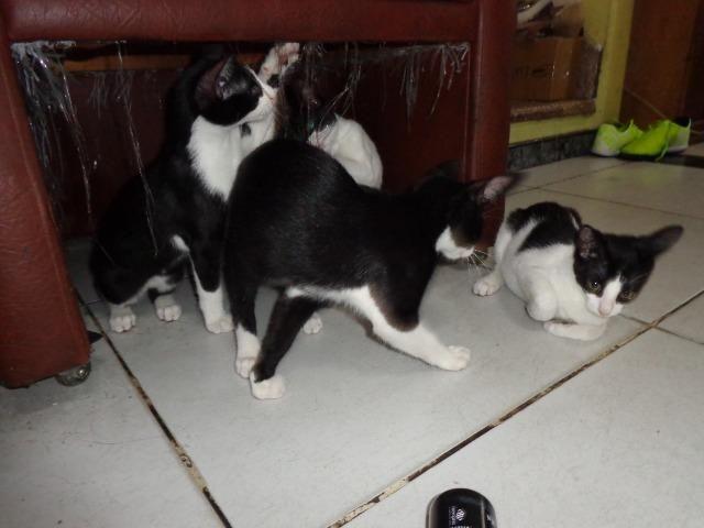 Doação Gato filhotes saudáveis