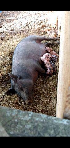 Porca com Leitoes - Foto 2