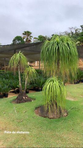 Plantas para jardim e venda no atacado de pequena médio e grande porte  - Foto 2