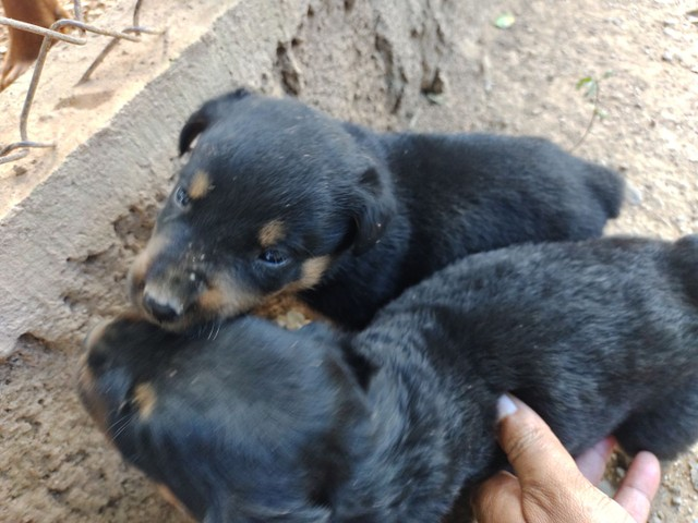 Cachorro filhotes Rottweiler
