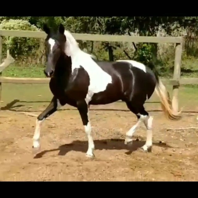 Cobertura de cavalo Campolina pampa  - Foto 3