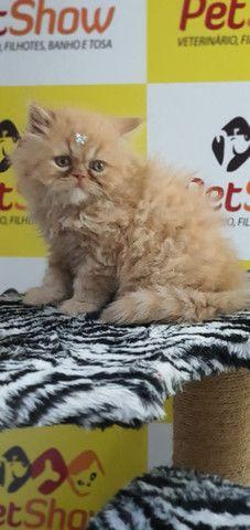 Gatos PErsa Filhotes - Foto 3