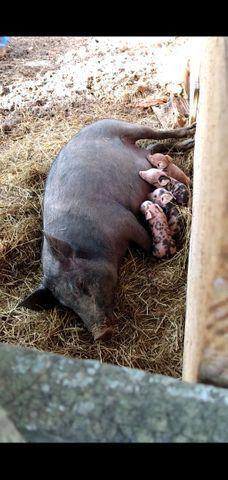 Porca com Leitoes - Foto 3