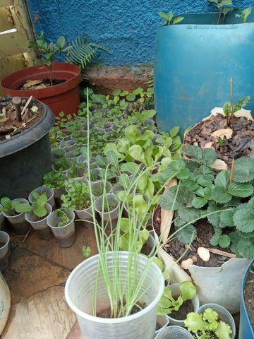 Vende se muda de cebolinha organica