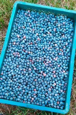 Mirtilos (Blueberry) congelados - Foto 4