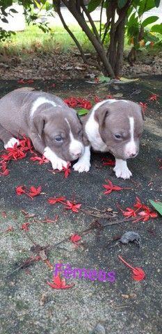 Filhotes de Pitbull - Foto 4