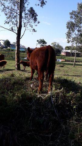 Tourinho Red Angus  - Foto 4