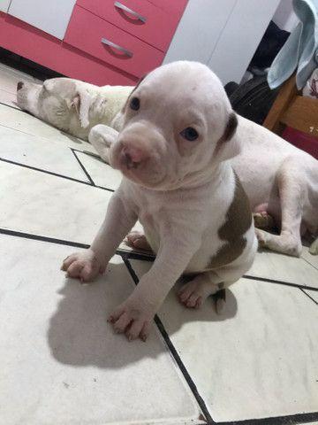 Filhotes de pitbull - Foto 5