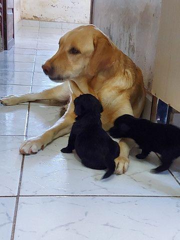 Labrador hibrido - Foto 2