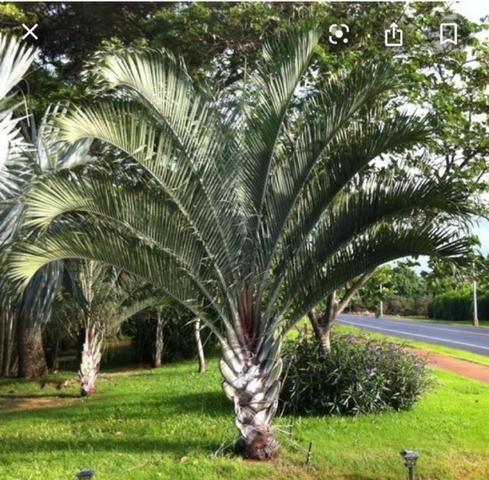 Palmeiras exóticas - Foto 6