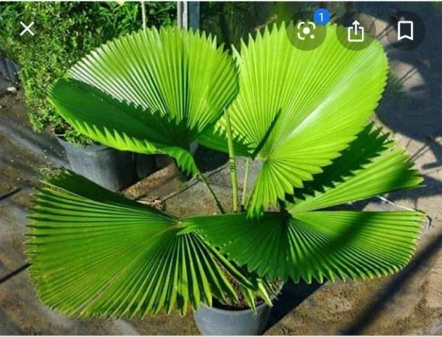 Palmeiras exóticas - Foto 3