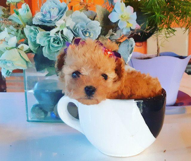 "Poodles super micros (tea cups) ""xícara de chá"" os menores do mundo  - Foto 3"