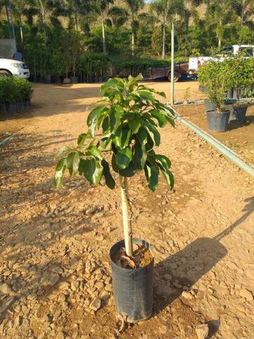 Plantas para jardim e venda no atacado de pequena médio e grande porte  - Foto 5