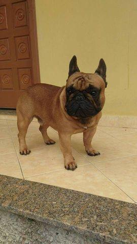 Macho Adulto de bulldog francês - Foto 2