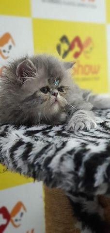 Gatos PErsa Filhotes - Foto 2