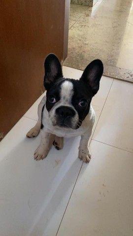 Procuro namorada para Bulldog francês - Foto 2