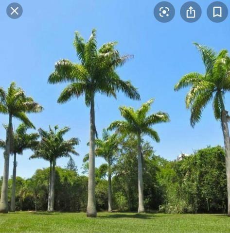 Palmeiras exóticas - Foto 2