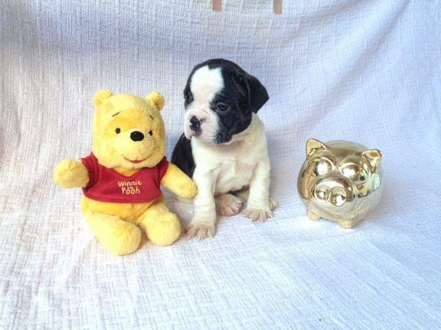 Com Um kit Especial de Presente Bulldog Frances Filhotes - Foto 3