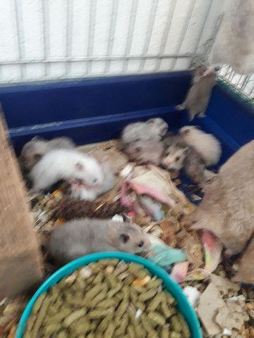 Hamster sírio  - Foto 2