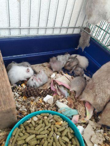 Hamster sírio  - Foto 4