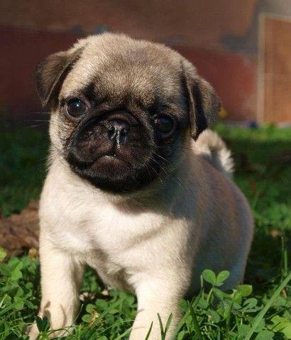 Filhote de Pug macho disponível