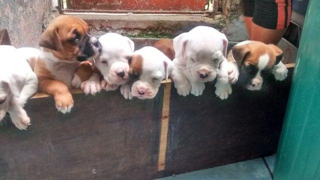 Boxer Filhotes ,Fêmeas e Machos -SP - Foto 2