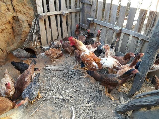 Vendo galinhas e frangos caipiras
