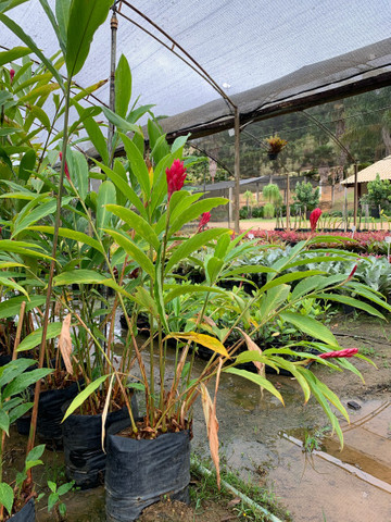 Plantas para jardim e venda no atacado de pequena médio e grande porte  - Foto 3