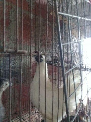 Galo sedoso do Japão e galinha do Japão  - Foto 2